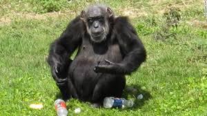 wild chimps